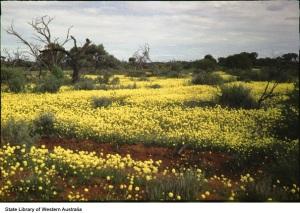 Yellow Everlastings