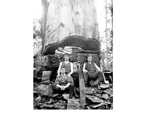 A logging team in the karri forest., 1915